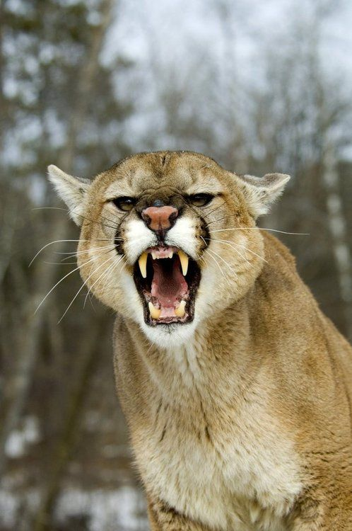 Mountain Lion With Attitude. Photography Shot By Pauleskew