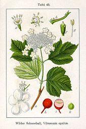 Illustration von Gewöhnlicher Schneeball ( Viburnum opulus )