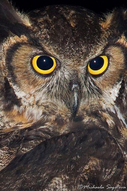 Great Horned Owl // Grand duc d'Amérique -