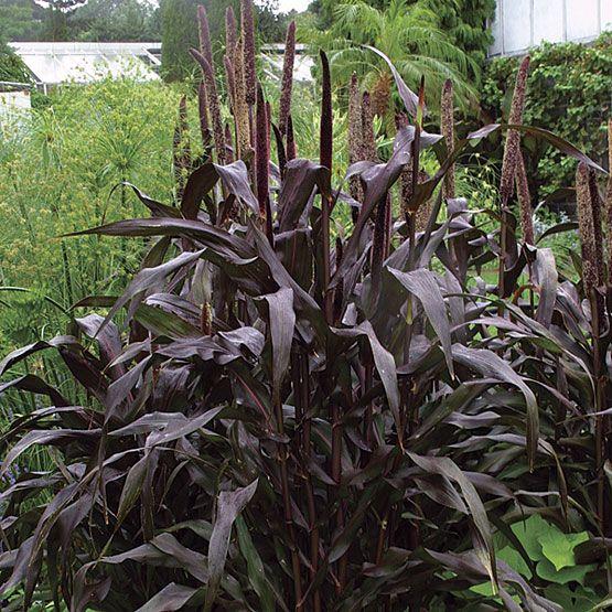 Pennisetum glaucum, 'purple majesty' purple millet (look also for 'Jester')