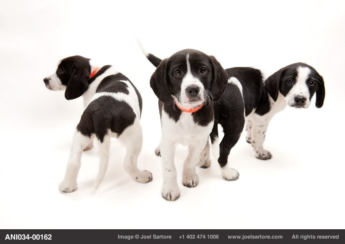 Ten week-old Springer spaniel mix puppies at the Capital Humane Society in Lincoln.