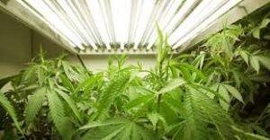 Sembra che qualcosa si stia muovendo, anche a Torino, per fare diventare realtà la coltivazione della cannabis a fini terapeutici,