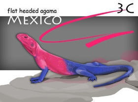 Flat Headed Agama