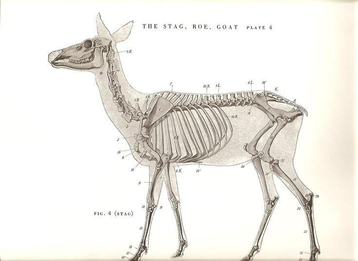 17 Best images about Animal Anatomy on Pinterest | Deer ...