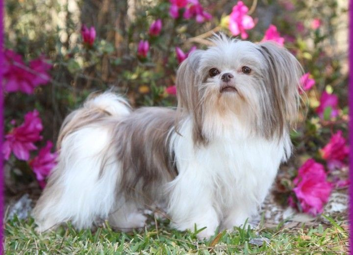 Pictures Of Mi Ki Puppies And Their Parents Shih Tzu Doggy Dogs