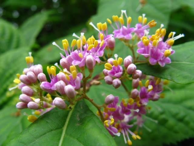 11月21日の誕生日の木は紫色の果実が特徴的な「ムラサキシキブ(紫式部)」です。 クマツヅラ科ムラサキシキブ属の落葉低木です。原産地は、日本、韓国、中国、台湾。日本では、北海道南部以南の各地の山野に自生しています。 ムラサキシキブは、古くは紫色の果実が玉のように群がることから、「タマムラサキ(玉紫)」と呼ばれていました。これを京都では、紫色の果実が重なりあっていることから、「ムラサキシキミ(紫重実)」と呼びました。「ムラサキシキミ」の名前は、平安時代の作家「紫式部」の名を連想させることから、「ムラサキシキブ」と呼ばれるようになりました。 樹高は3m程度。細い枝を比較的多く出し、水平に伸びます。葉は、長さ6cm~13cm、幅3cm~6cmほどの長楕円形で、葉先が尾状に伸びているのが特徴です。