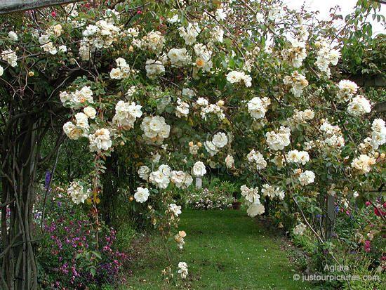 White Garden Rose Bush 36 best evie's gardens * roses images on pinterest | beautiful