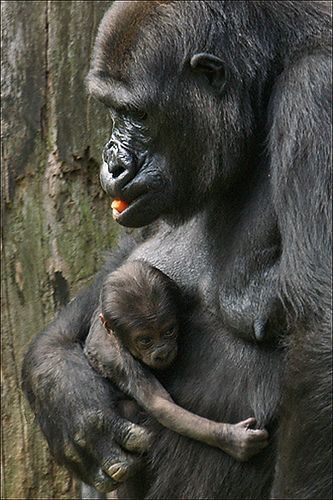 syndrome x and the silverback gorillas The zoo recently added a 29-year-old western lowland silverback gorilla named mshindi cincinnati zoo welcomes new gorilla to due to down syndrome.