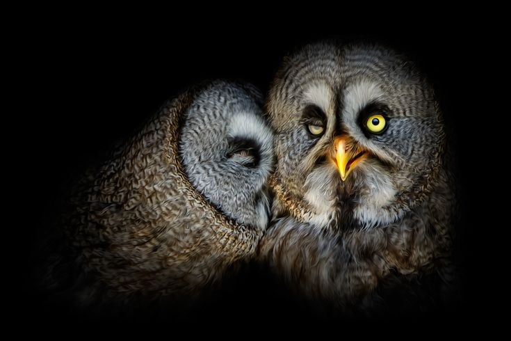 """Loverbirds""  Bartkauz - gray owl  .  Animal Photography Artwork"