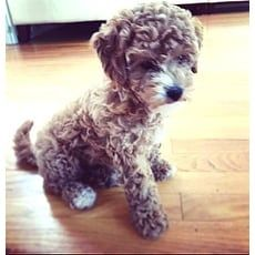 KaiaNeeds Help | Toy Poodle Rescue | Dover, Massachusetts | Pets.Overstock.com