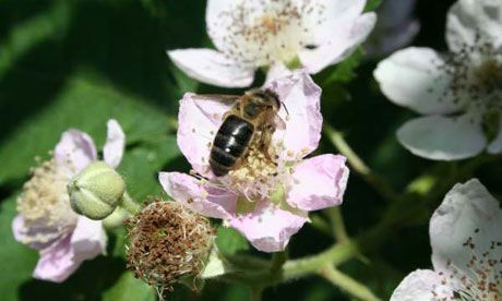 Native British black bees are darker, larger and have longer hair than their southern European cousins. Photograph: Bibba