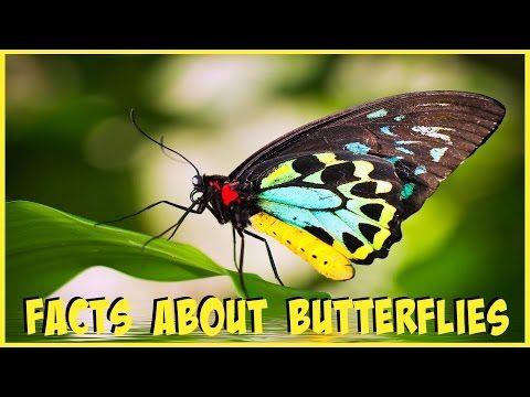 #factsaboutbutterflies #butterfly #butterflies #videoaboutbutterfly #factsforyou