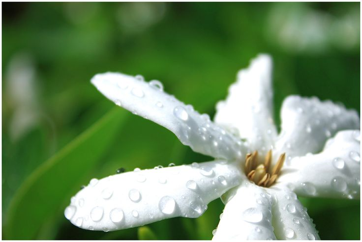42 Best Images About Tiare Flower On Pinterest Flower