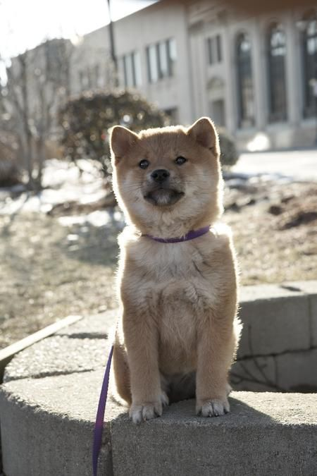 Best Hatchi The Dog Images On Pinterest Dogs Shiba Inu And - Three shiba inus stick their heads through wall to greet passers by