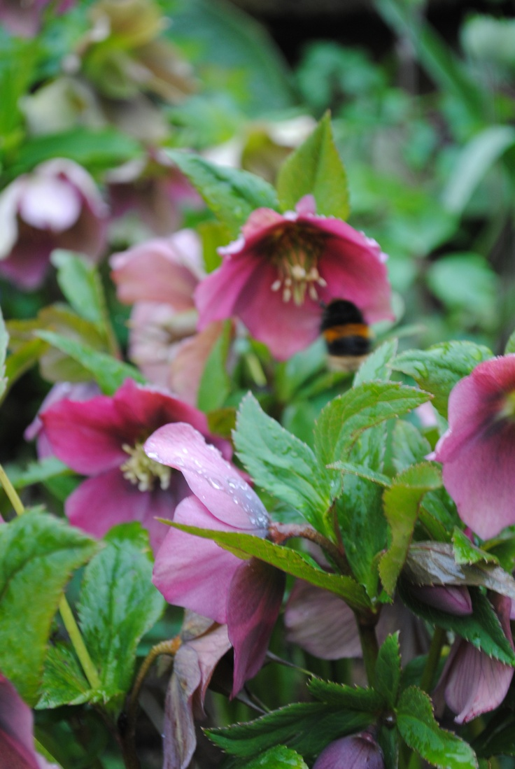 A loverly big bumble bee exploring the hellebores