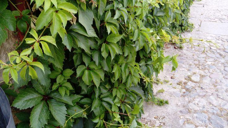 Parthenocissus quinquefolia (L.) Planch.  Trepadora de hoja caduca, también conocida como parra virgen.  Resistente a las heladas, de crecimiento rápido. Posee unas ventosas al final de sus zarcillos que le ayudan a fijarse.  Hoja compuestas formadas por cinco foliolos ovales, de color verde intenso, hasta que en otoño pasan a un color rojo vivo antes de caer.  Fruto en drupa de color negro-azulado.  Muy utilizada para el recubrimiento de muros, por su rápido crecimiento y su fácil fijación.