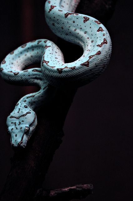 Holly Fretwell (HollyBerry255) Green Tree Python -color enhanced, the original snake is yellow.