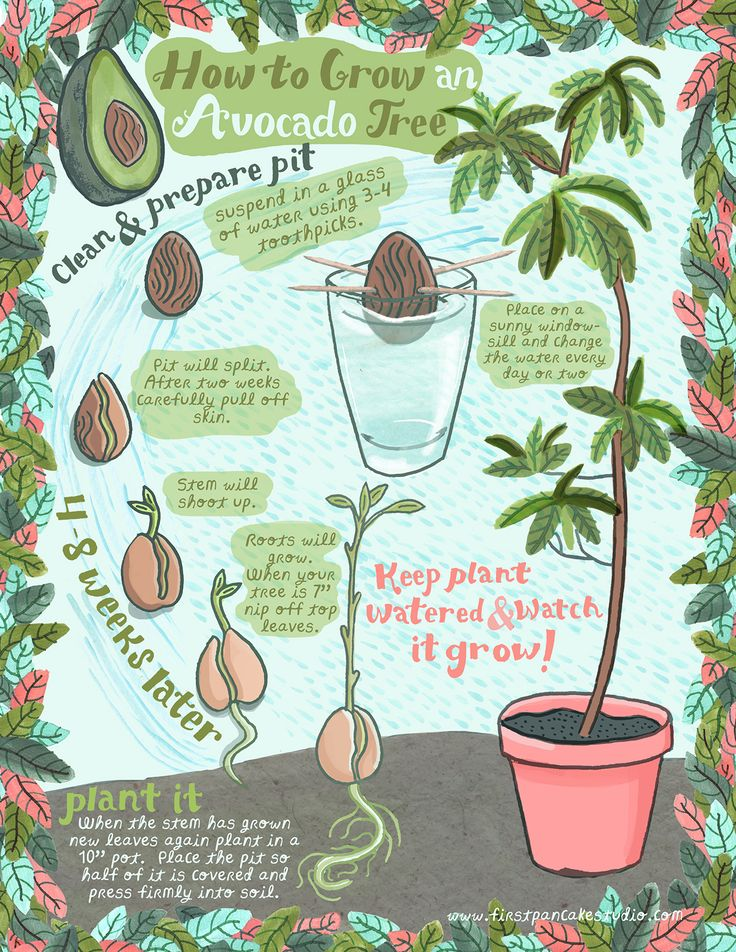 ☮★✿☯ BREAKFAST ✝☯★☮  How to grow an avocado tree from a pit! cute illustration found on First Pancake Studio