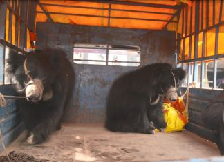 Breaking! Jane Goodall Institute Nepal & World Animal Protection Rescue Country's Last Illegally Owned Dancing Bears