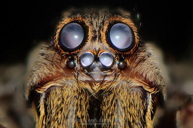 DEU, Deutschland: Tarantel (Lycosa emuncta), Augentyp: Linsenauge; Taranteln besitzen acht Augen - vorn zwei grosse, darunter vier kleine und seitlich am Oberkopf noch einmal zwei kleine Augen, es sind überwiegend nachtaktive Tiere, der Augenhintergrund ist reflektierend; diese Linsenaugen haben nicht den komplizierten Aufbau von Wirbeltieraugen, sondern bestehen nur aus Linse, Pigmentzellen und Retina; Augenpartie ca. 3 mm breit, Freiburg, Baden-Württemberg | DEU, Germany: tarantula…