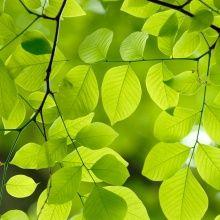 Fototapet - Yellow Wood Green Leaves