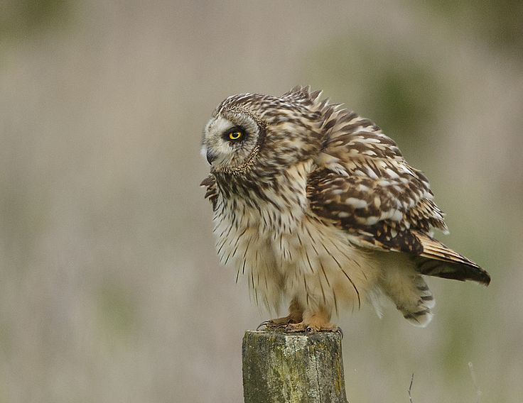 Short eared owl having a good shake out after preening