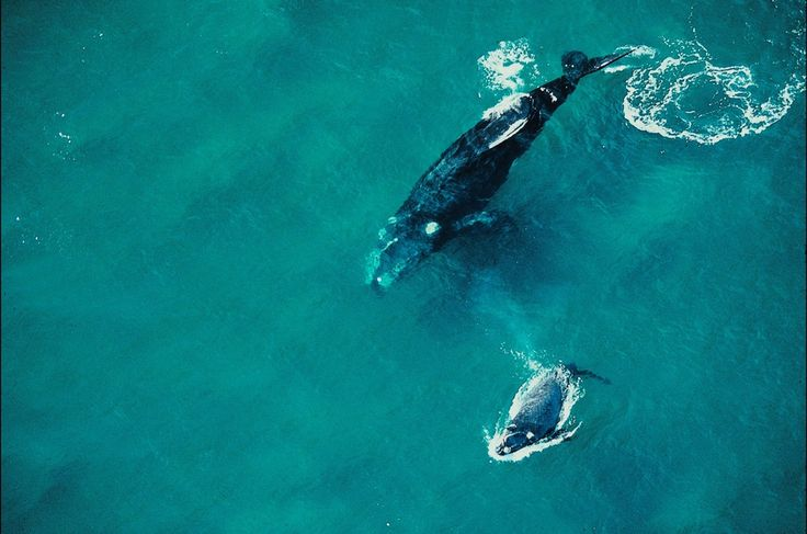 Endangered Animals in Brazil:  Right whale-south (Eubalaena australis).