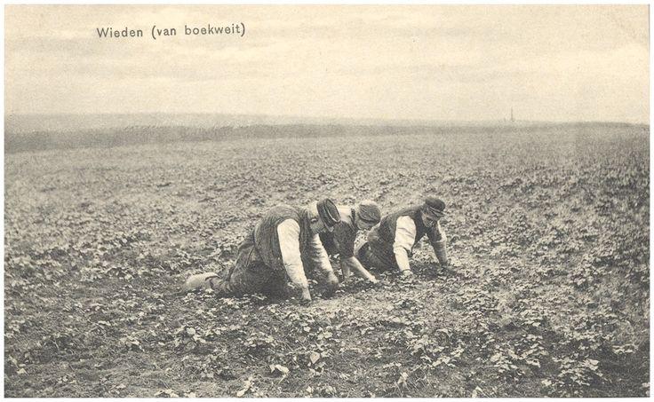 Het wieden van de boekweit door drie boeren op de knieën - 1900