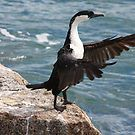 The Conducting Shag by Stuart Daddow Photography