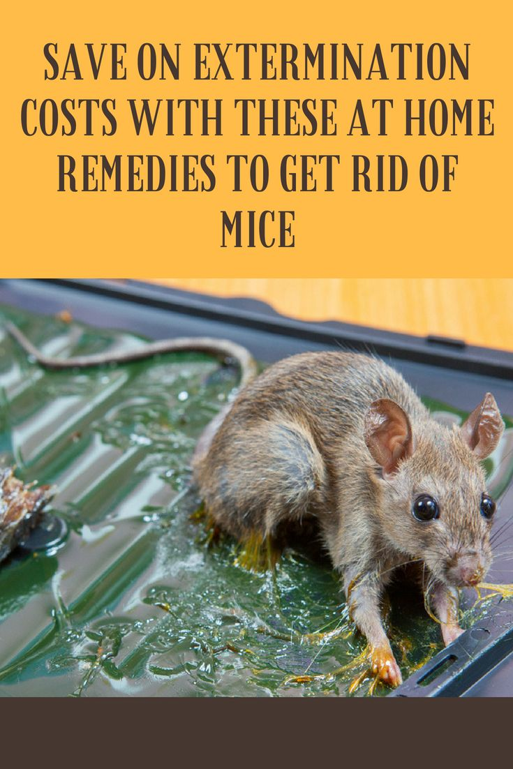 Save On Extermination Costs With These At Home Remedies To Get Rid Of Mice Getting Rid Of Mice Getting Rid Of Rats Mouse