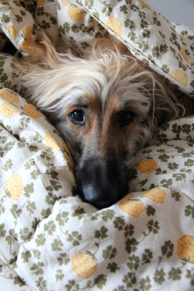 """Halla, the Afghan Hound What a sweet baby !!! Love it. """"what? dishes? nahhh those can be done later, you deserve a few more hours of sleep"""""""