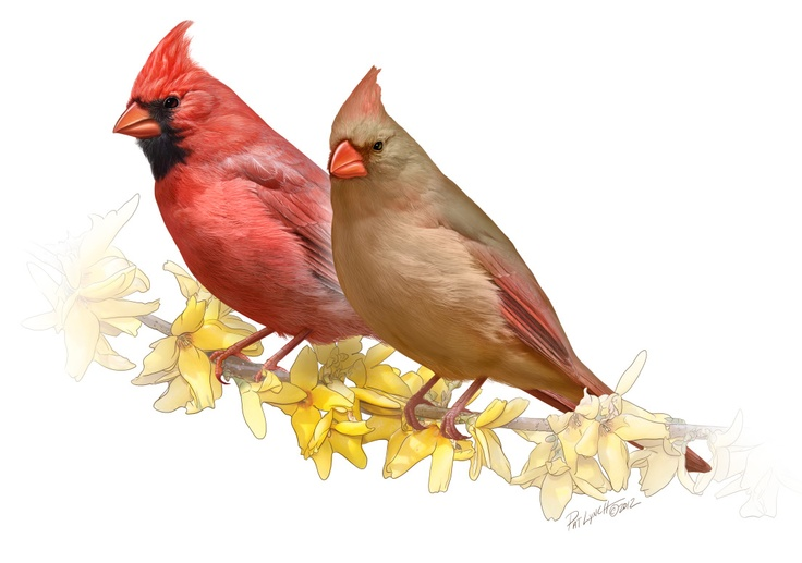 Cardinals - by medical and biological illustrator, Patrick Lynch