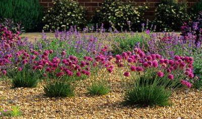 lovely hot sunny gravel patch.  Armeria maritima in gravel garden with catmint.