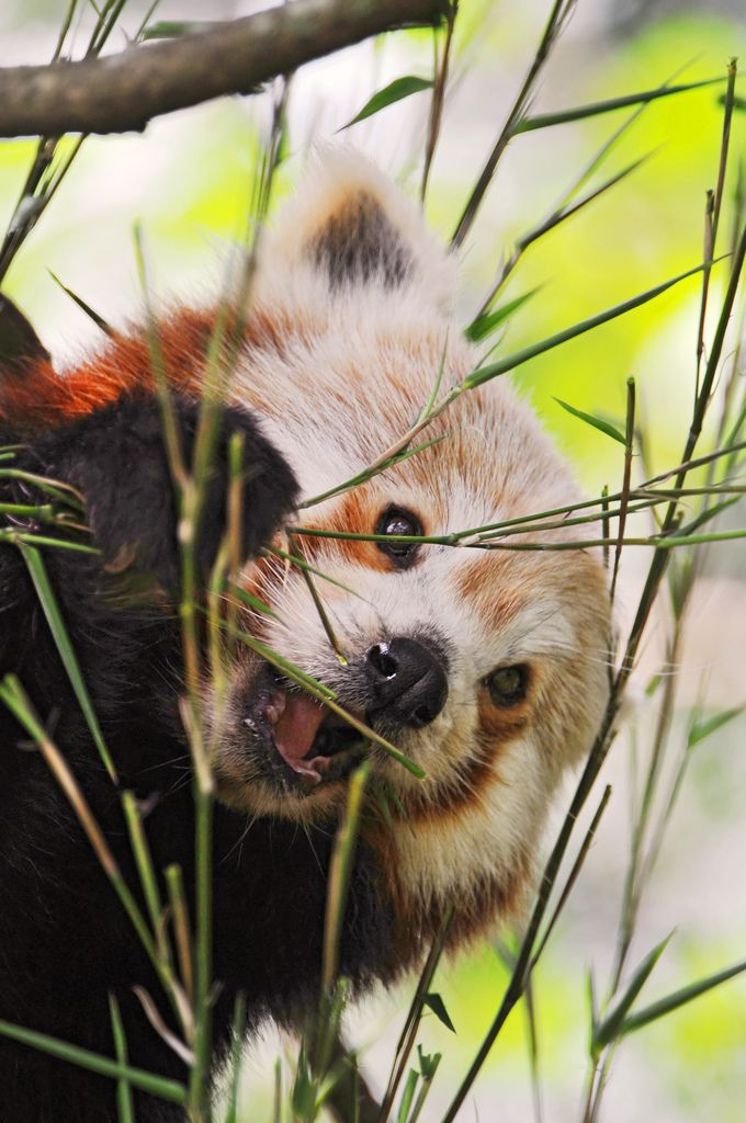 The red panda's diet is very unusual for a mammal and consists mostly of bamboo. When the weather is warm enough, they also eat insects and fruit. Although the giant panda eats almost every part of the bamboo plant (except the roots), the red panda only eats the youngest, most tender shoots and leaves.