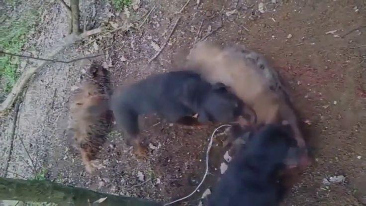 훈련받은 사냥개의 야생동물 사냥 땅 속까지 파고들어 사냥성공