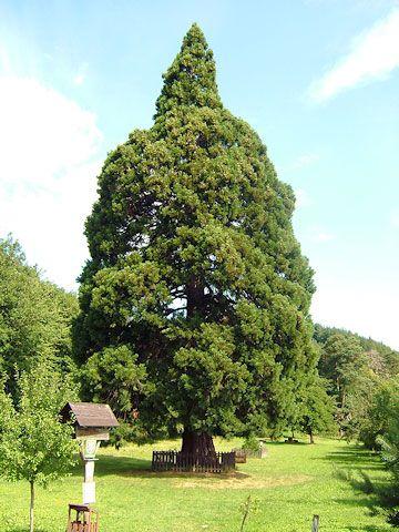 Památný strom sekvojovec obrovský, Chabaně-Břestek | Chřiby