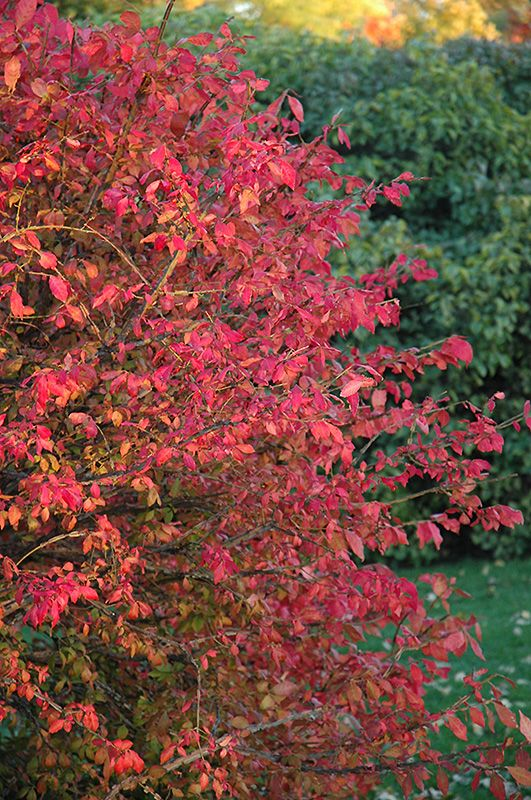 Click to view full-size photo of Winged Burning Bush (Euonymus alatus) at Dundee Nursery