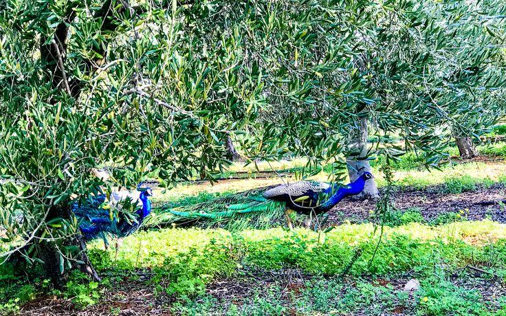 Peacocks in the vineyards! #wildlife #winefarm #winemaking #ecotravel #wildlifelover #africatrip #africa #visitafrica #travelafrica #africatravel #exploreafrica #travelafrique #intoafrica #wanderlusttoafrica #africanature