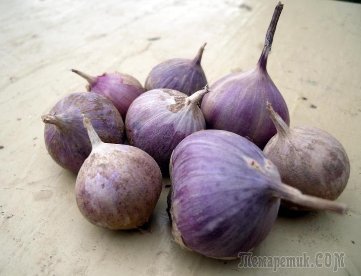 Если вы планируете выращивать на своем участке чеснок, лучше всего побеспокоиться об этом еще осенью. Посадка этого луковичного растения под зиму обеспечит отличное качество и большой размер головок и...