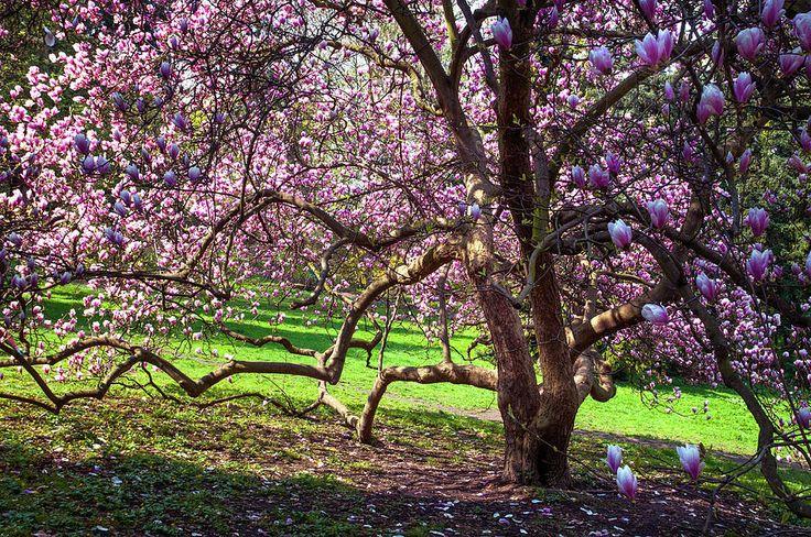 Beauty Of Blooming Magnolia Tree Photograph by Jenny Rainbow
