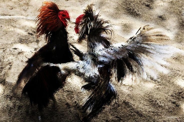 Afbeeldingsresultaat voor sabung ayam