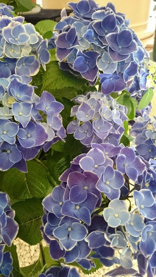紫陽花 ハウステンボス