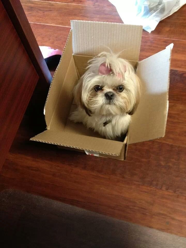 shih tzu topknot 595 best images about shih tzu pictures on pinterest 1541