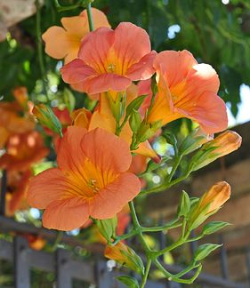 "Campsis chinensis  ""Chinese Trumpet Creeper"" - An excellent fast growing vine that can reach heights of 20-25 feet. Each bloom is 4-6"" long and a vibrant orange. Zones 6-11"