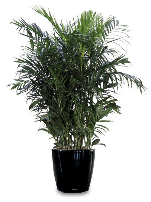 9 Zimmerpflanzen welche die Luft reinigen und fast unmöglich sind um zu töten |  Bambus Palmen sind am effektivsten in der Filterung von Formaldehyd. Sie gedeihen in voller Sonne und hellem Licht. Sie können über 2 Meter hoch wachsen, so dass sie zu einer unglaublichen Presenz im Innenbereich werden. Sie entfernen Benzol, Formaldehyd und Trichlorethylen.