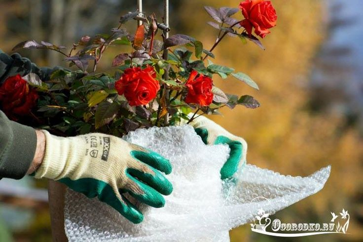 Как укрыть розы на зиму? Содержание статьи: 1. Когда укрывать розы на зиму?…