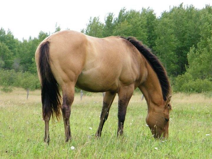 quarter horse buckskin - photo #3