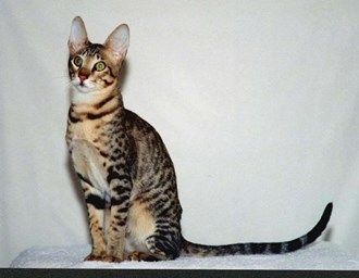 Rare cat breeds and Breed information - Serengeti cat