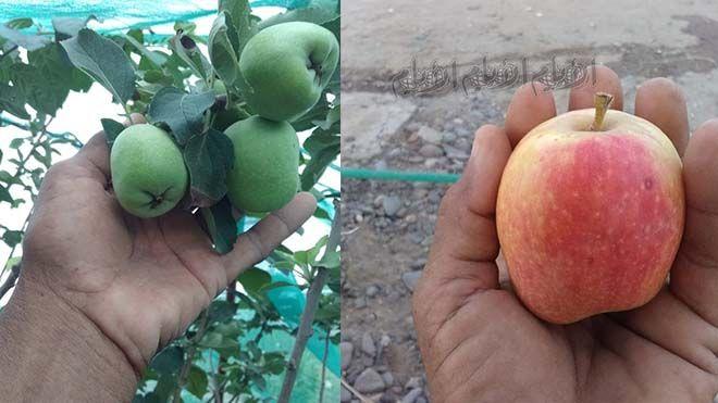 نجاح تجربة زراعة التفاح في لحج نجحت بلحج أول تجربة لزراعة شجرة التفاح بعد ثلاث سنوات من الرعاية والاهتمام لحج زراعة Www Alayyam Info In 2020 Fruit Apple Pear