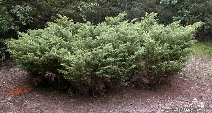 Image Result For Juniper Bush Juniper Shrub Juniper
